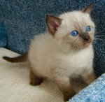 Highlight for Album: Help Gillian Get A Snowshoe Kitty